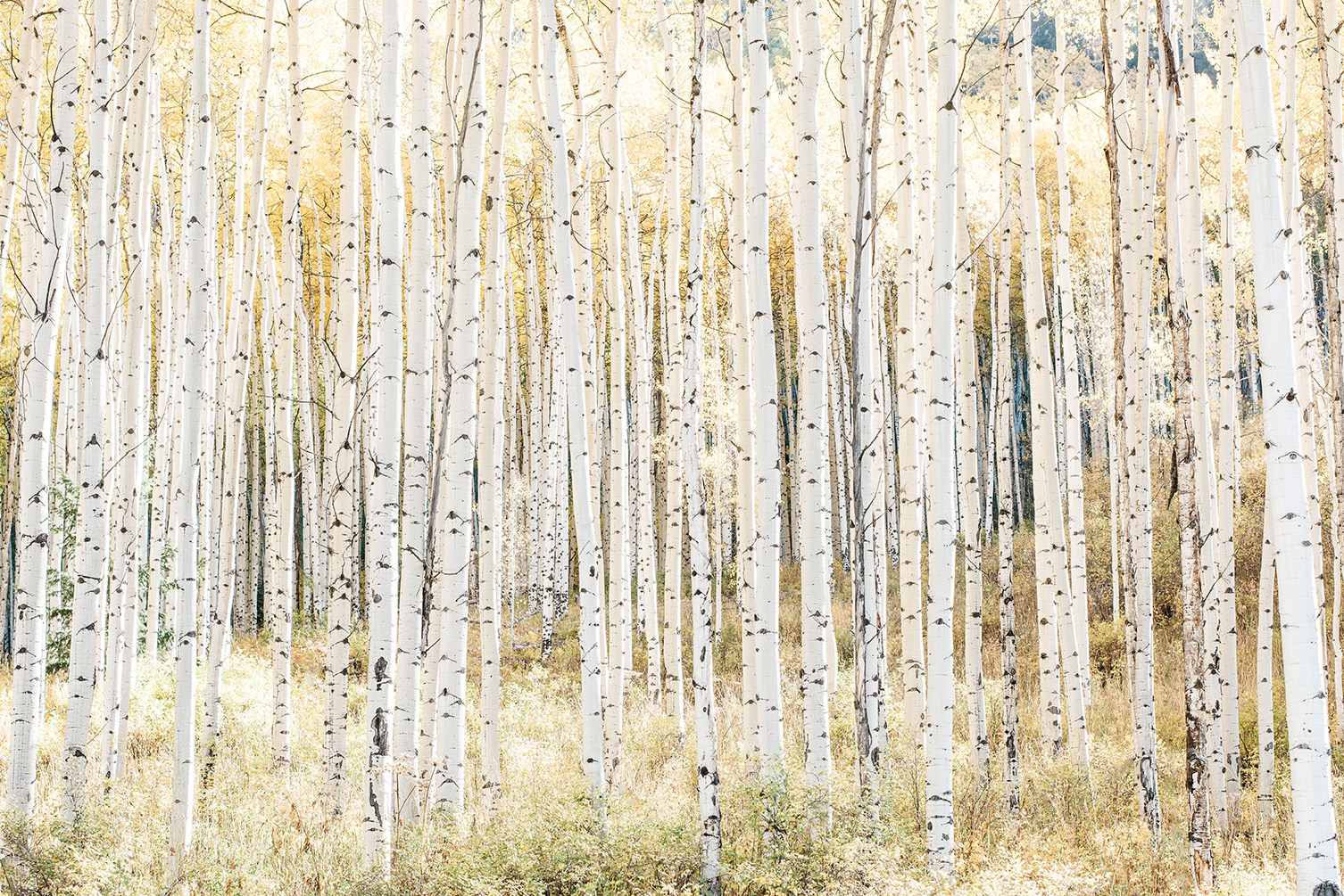 golden_aspens